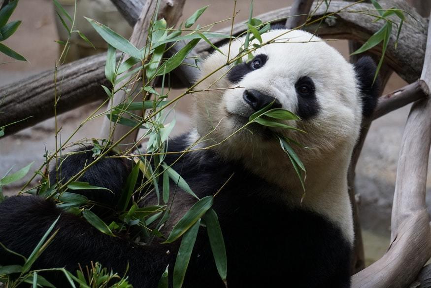 algoritmo panda